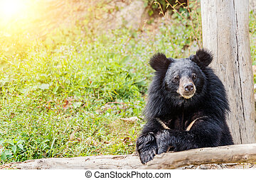 Black bear in the forest.