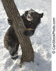 black bear in the winter does not sleep