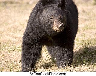 Black bear . - Shot in Jasper National Park, Alberta