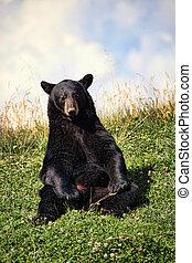 Black Bear Sitting in Clover Field - Black bear (ursus ...