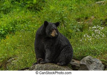 Black bear sitting on a rock