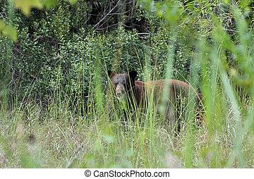 Black Bear in the Everglades, Bear Island Unit, Big Cypress...