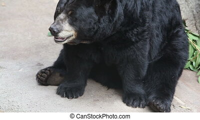 Black bear sitting at the Los Angeles zoo