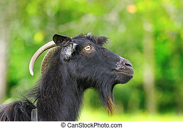 black bearded ram
