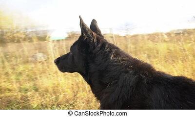 Black beautiful german shepherd outdoors.