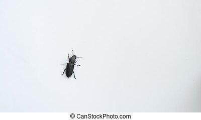 Black beetle crawling on white background
