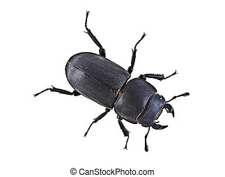 Black beetle isolated on a white background