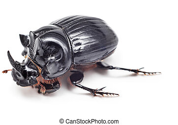 Black beetle isolated on white background