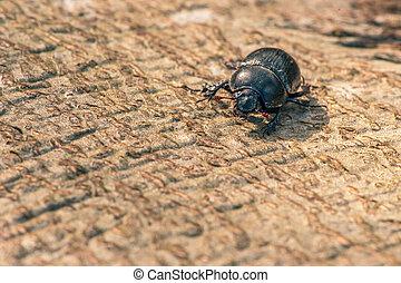 Black beetle on wood