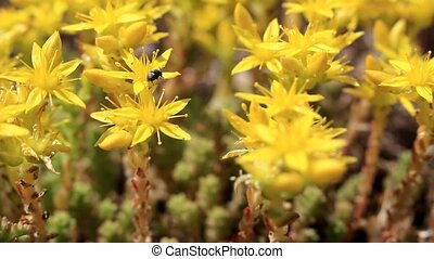 Black beetle on yellow flowers