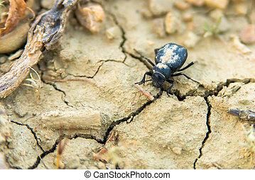 Black beetle or Blaps Mortisaga closeup on natural background