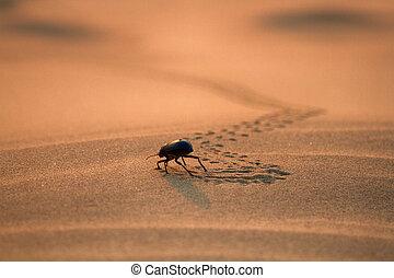Black beetles (darkling beetles, Blaps gigas) roam sands of Great Indian Desert (Thar), leave chain of tracks. True image of the desert. Sunset Sands