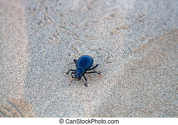 Black beetles (darkling beetles, Blaps gigas) roam sands of Great Indian Desert (Thar), leave chain of tracks; they collect water from morning raw air, are saprophages and necrophages - corpse eater
