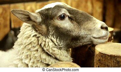 Black-beige sheep looking to camera