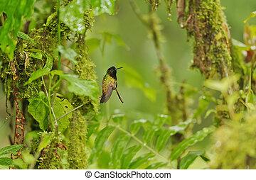 Black-bellied Hummingbird, Costa Rica