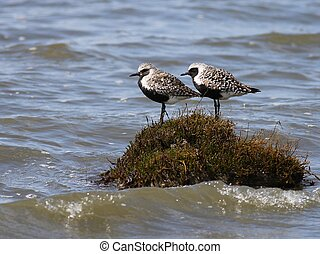 A pair of Black-bellied Plovers perched on a tiny island