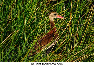 Black bellied whistling duck taking a break from the action ...