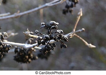 Black berries on the branches of bushes in the winter in the forest