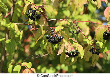 Black berries ripen on bushes in the forest