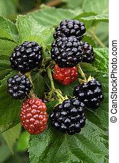 Blackberry on the branch