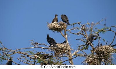 Black big cormorant nests in a tree - Phalacrocorax carbo....