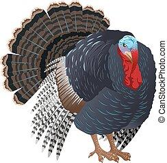 Black big Turkey bird male