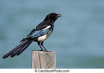 Black-Billed Magpie Perched on Wooden Fence Post