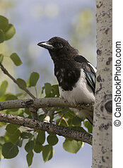 Black-billed magpie sitting on trembling aspen tree branch with leaves and sky background