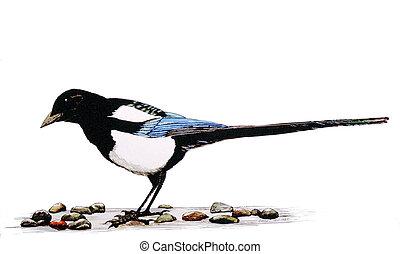 Black-billed Magpie Pica hudsonia