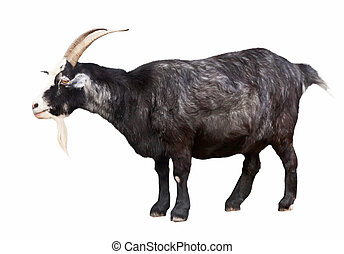 Black billy goat over white - Black billy goat over white...