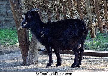 Black billy goat.