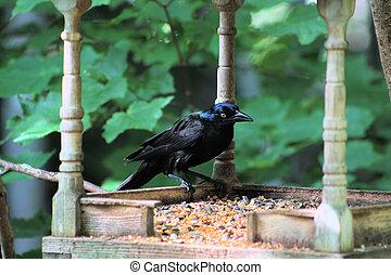 Black bird at feeder