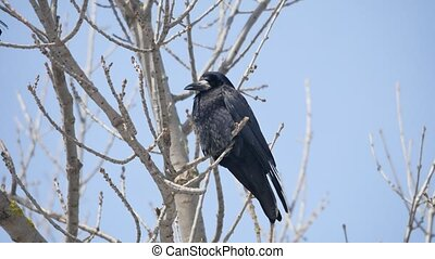 Black bird crow perched on a dry dead branch. bird black crow single on branch on blue sky nature background