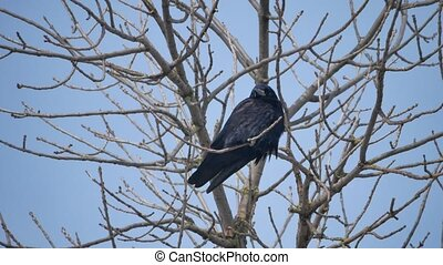 Black bird crow perched on a dry dead branch. bird black crow single on branch on blue sky background nature