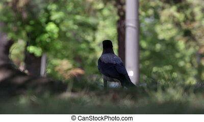 Black bird, grass
