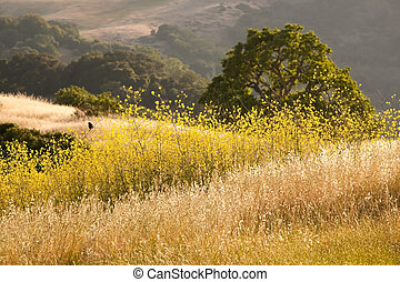 Black Bird in Golden Mustard Field and Oak Grassland - A...