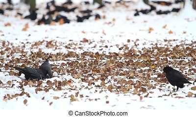 black birds among the yellow leaves on white snow