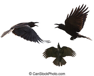 black birds crow flying mid air show detail in under wing...