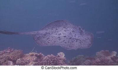 Black blotched stingray hunting on reef.