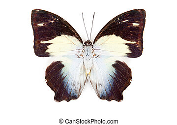 Black blue and white butterfly Agatasa calydonia isolated on white background