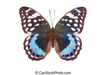 Black blue and white butterfly Lexias satrapes isolated on white background