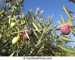 Black blue Olives
