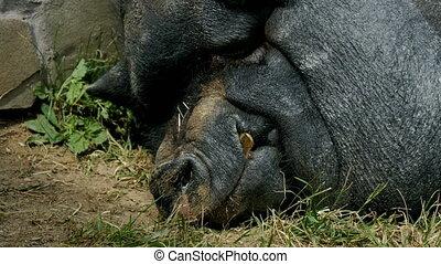Black boar, resting, sleeping near the wall, on a sunny day....