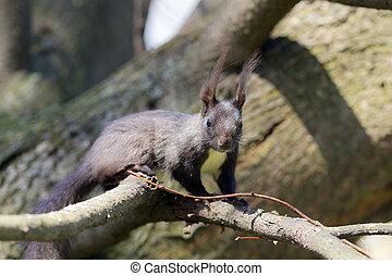 black , boompje, squirrel, tak