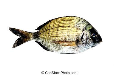 Black Bream Fish diplodus vulgaris