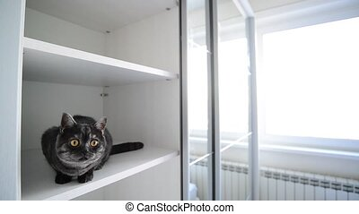 black British cat sits in a white cabinet - black British...