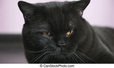 Black British cat with orange eyes