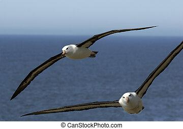 Albatrosses on the Falkland Island and South Georgia