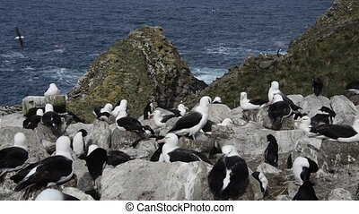 Black browed Albatross and Rockhopper Penguins - Black...
