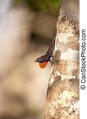 Black Brown anole lizard Anolis sagrei climbs on a tree and...
